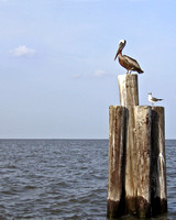 Pelican in the Gulf of Mexico